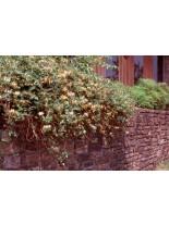 Lonicera japonica 'Purpurea' - лоницерея - 20 - 40 см.