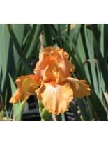 Iris germanica 'Orange Harvest' - Перуника, ирис  - 10 - 20 см.