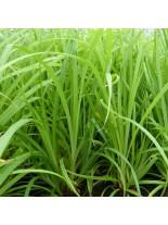Carex pendula (gracilis) - Карекс - Влаголюбива трева за плитки крайезерни зони - 6-10 см.