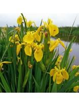 Iris pseudacorus - Блатен Ирис - жълт - 5 - 20 см.