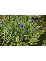 Iris laviegata - Блатен Ирис - син - 5 - 20 см.