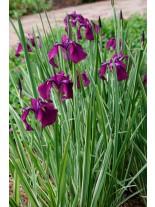 Iris laviegata - Блатен Ирис - лилав - 5 - 15 см.