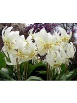 Еритрониум White Beauty - 2 броя луковици
