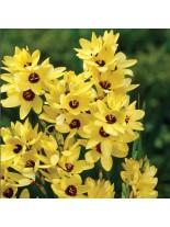 Иксия Yellow Emperor - 10 броя луковици