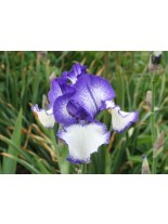 Ирис Blue Staccato - 1 брой грудки
