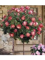 Роза - dabl dilajt - на присадка - 1.2 - 1.3 м.