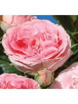 Роза - papalion - на присадка - 1.2 - 1.3 м.