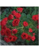 Роза - scarlet - на присадка - 1.2 - 1.3 м.