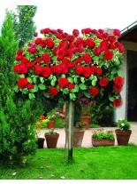 Роза - lavaglut - на присадка - 1.2 - 1.3 м.
