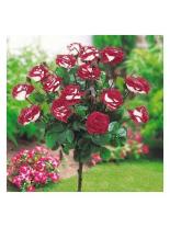 Роза - osirija - на присадка - 1.2 - 1.3 м.