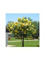 Роза - stablachika - на присадка - 1.2 - 1.3 м.
