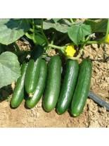 Краставици - Герлинде F1  - 1 гр. - около 35 семена в 1 гр.