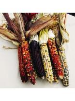 Шарена царевица Мултиколор